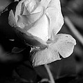 Pink Tea Rose 01 - Infrared by Pamela Critchlow