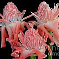 Pink Torch Ginger Trio On Black by Mary Deal