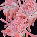 Pink Torch Ginger Trio On Black - No 2 by Mary Deal