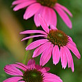 Pink Trifecta by Maria Urso