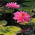 Pink Tropical Waterlilies -- Version 2 by Byron Varvarigos