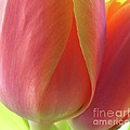 Pink Tulip by Addie Hocynec