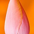 Pink Tulip by CJ Middendorf