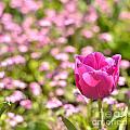 Pink Tulip Close-up by Aleksandar Mijatovic