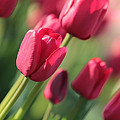 Pink Tulip Dream by Carol Groenen