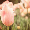 Pink Tulip Field by Emily Kay