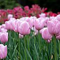 Pink Tulip Garden by Jennifer Ancker