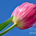 Pink Tulip in the Sky