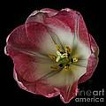 Pink Tulip by Mitch Shindelbower