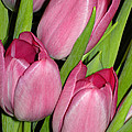 Pink Tulip by Paul Clavel