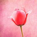 Pink Tulip by Art Spectrum