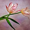 Pink Tulips by David and Carol Kelly