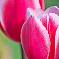 Pink Tulips II by Angela Doelling AD DESIGN Photo and PhotoArt