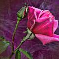 Pink Velvet by Sylvia Thornton