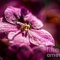 Pink Violet Glory by Bob and Nancy Kendrick