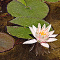Pink Water Hyacinth Painted by Peter J Sucy
