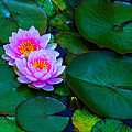 Pink Water Lilies - Lotus by Jordan Blackstone