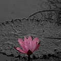Pink Water Lilly by Mark J Dunn