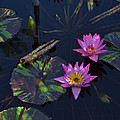 Pink Water Lilly by Wanda J King