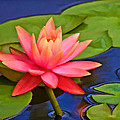 Pink Water Lily  by Grace Dillon