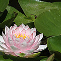 Pink Water Lily by Judy Whitton