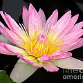 Pink Water Lily by Kim Bemis