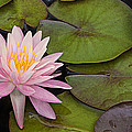 Pink Water Lily by Linda D Lester