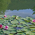 Pink Waterlilies by Karen Kluglein