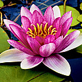 Pink Waterlily by Christi Kraft