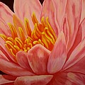 Pink Waterlily by Darla Brock