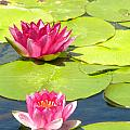 Pink Waterlily by Joan Gal-Peck