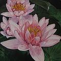 Pink Waterlily by Nancie Johnson