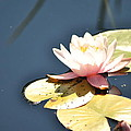 Pink Waterlily by Paulina Roybal