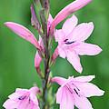 Pink Watsona  by Neil Overy
