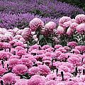 Pink Waves by Adrienne Franklin