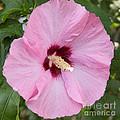 Pink by William Norton