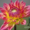 Pink-Yellow Dahlia Flower 01