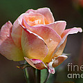 Pink Yellow Rose 01 by J M Lister