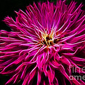Pink Zinnia Digital Wave by Darleen Stry
