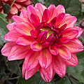 Pink Zinnia Flower by Duane McCullough