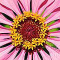 Pink Zinnia Macro by Kaye Menner