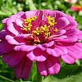 Pink Zinnia by MTBobbins Photography