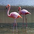 Pinkest Flamingo by Fabian Romero Davila