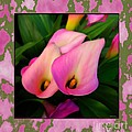 Pinkish Calla Lily Blooms by Scott Cameron