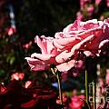 Pinks And Reds by Todd Schworm