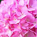 Pinks by Kathy McCabe