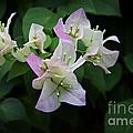 Pinky White Bougainvillea by Leanne Lei