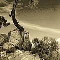 Pinon Pine by John Schneider
