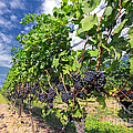Pinot Noir Grapes In Niagara by Charline Xia