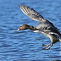 Pinpoint Pintail Landing by Sue Harper